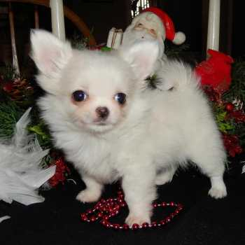 Chihuahua Puppies For Sale In Chicago Il