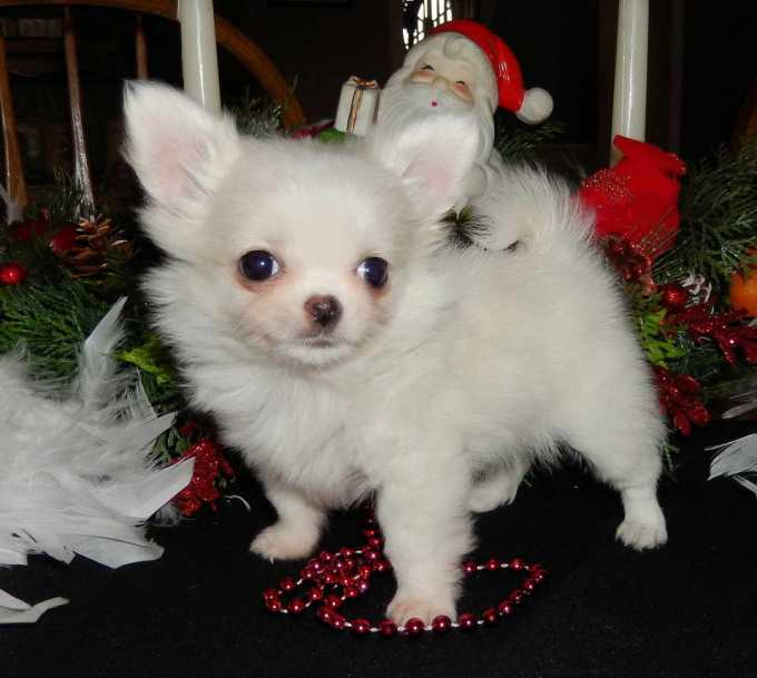 Chihuahua Puppies For Sale In Chicago