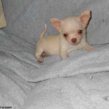 Chihuahua Puppies For Sale In Louisiana