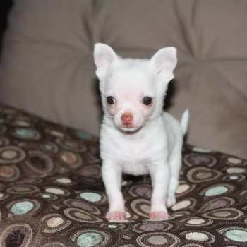 Chihuahua Puppies For Sale In Mass