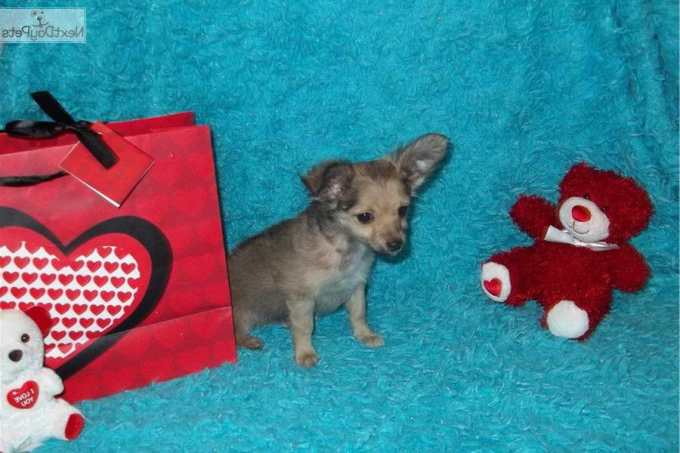 Chihuahua Puppies For Sale In Missouri