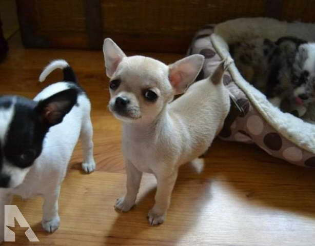 Chihuahua Puppies For Sale In Mn
