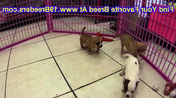 Chihuahua Puppies For Sale In Nebraska