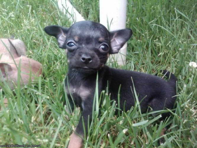 Chihuahua Puppies For Sale In Philadelphia