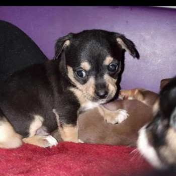 Chihuahua Puppies For Sale In Pittsburgh Pa