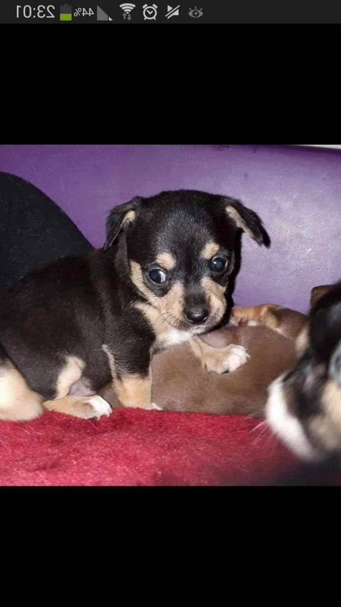 Chihuahua Puppies For Sale In Pittsburgh