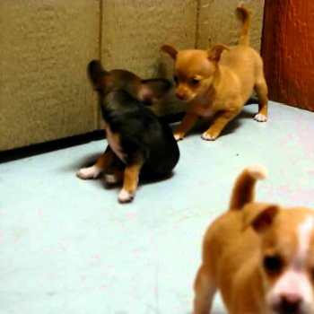 Chihuahua Puppies For Sale In San Diego