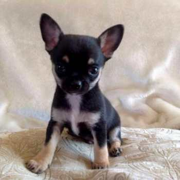Chihuahua Puppies For Sale In South Dakota