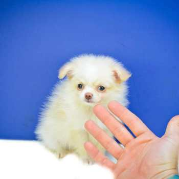 Chihuahua Puppies For Sale In Toledo Ohio