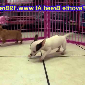Chihuahua Puppies For Sale In Utah