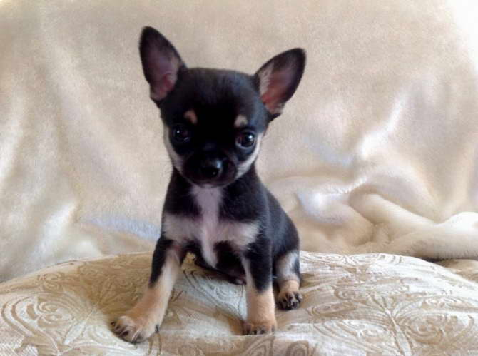 Chihuahua Puppies For Sale In Vermont