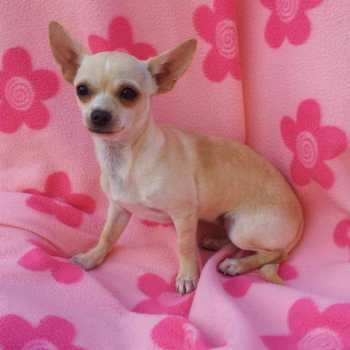 Chihuahua Puppies For Sale Kansas City