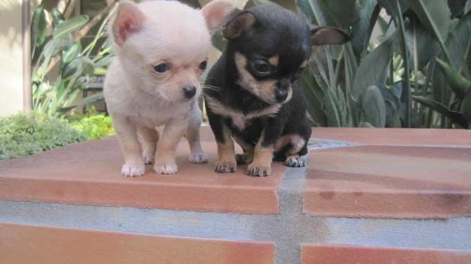 Chihuahua Puppies For Sale Knoxville Tn