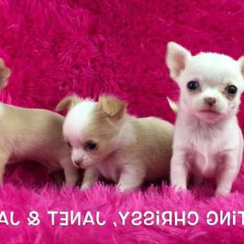 Chihuahua Puppies For Sale Los Angeles