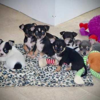 Chihuahua Puppies For Sale Nh