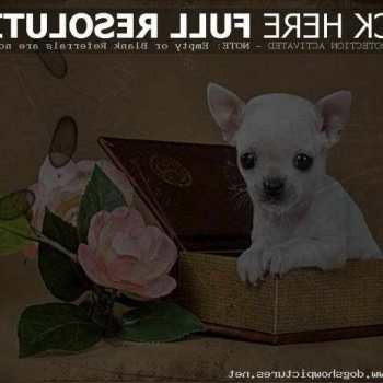 Chihuahua Puppies For Sale On Craigslist