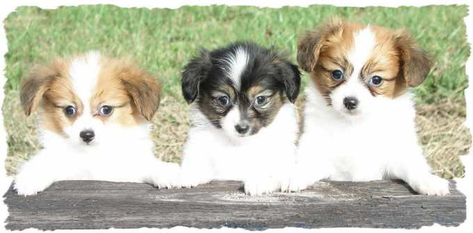 Chihuahua Puppies For Sale St Louis Mo