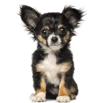 Chihuahua Puppies For Sale Upstate Ny