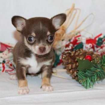 Chihuahua Puppies In Michigan