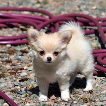 Chihuahua Puppies In Va