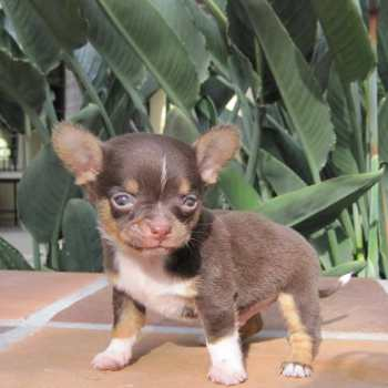 Chihuahua Puppies Indiana