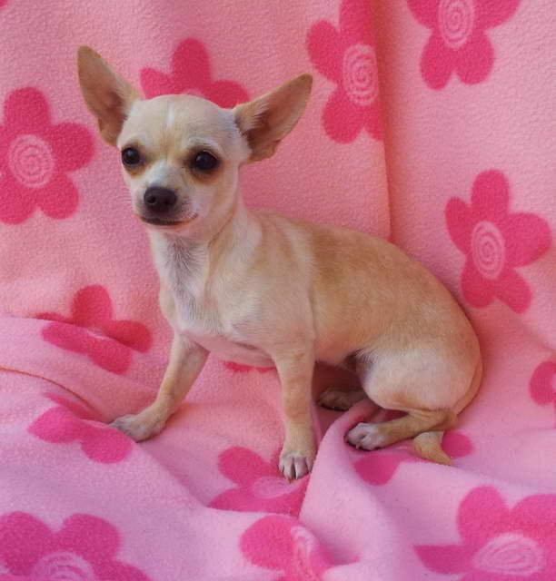 Chihuahua Puppies Kansas City