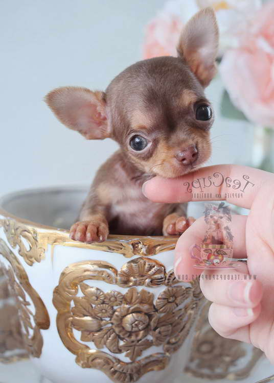 Chihuahua Puppies Miami