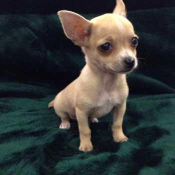 Chihuahua Puppies Nc