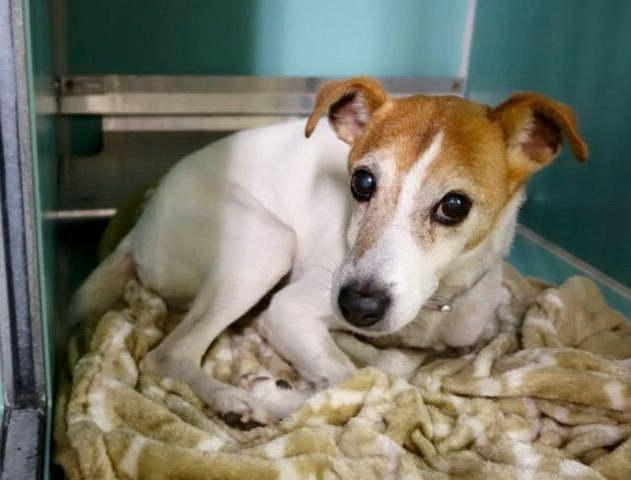 Chihuahua Puppies Nyc