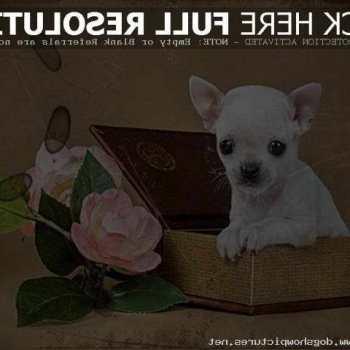 Chihuahua Puppies On Craigslist