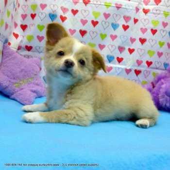 Chihuahua Puppies Oregon