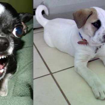 Chihuahua Puppies San Diego