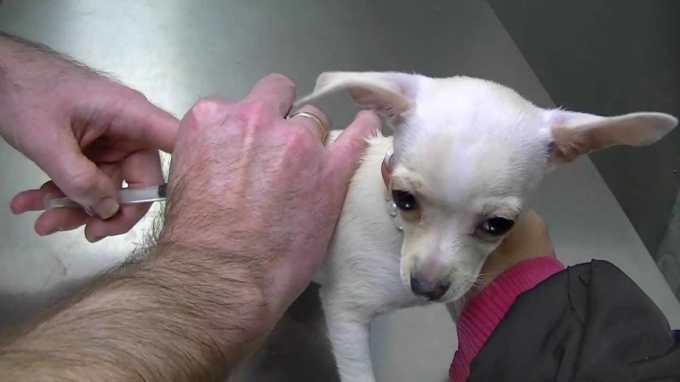 Chihuahua Puppies Shots