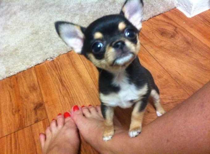 Chihuahua Puppies Texas