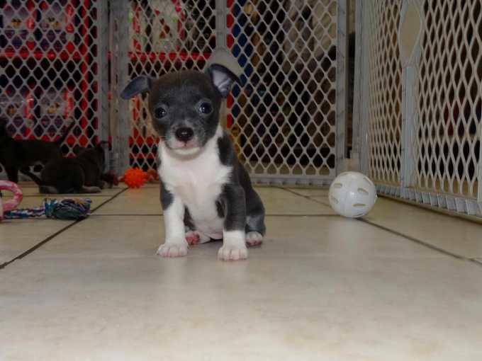 Chihuahua Puppies Virginia