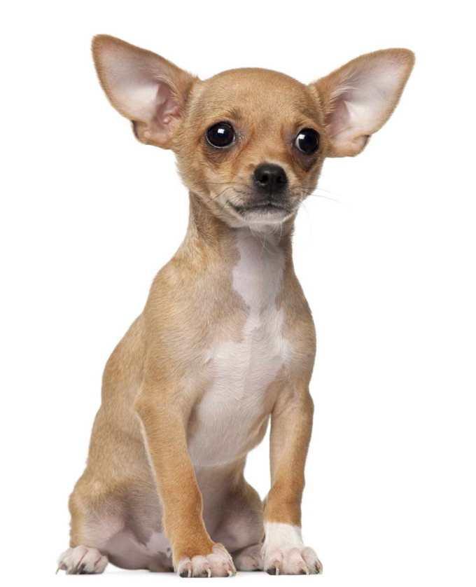 Chihuahua Puppy Behavior