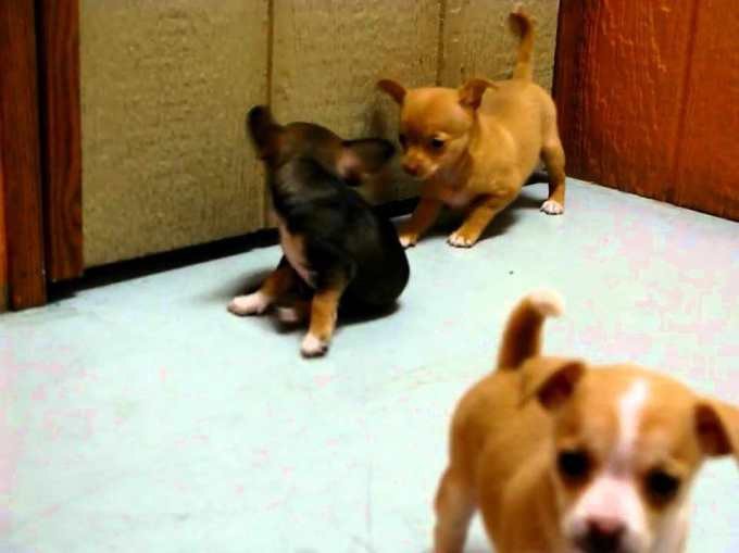 Chihuahua Puppy California