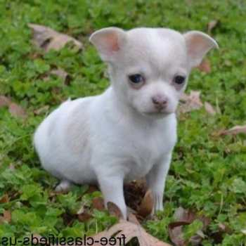 Chihuahua Puppy For Adoption