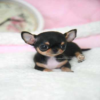 Chihuahua Puppy For Sale In Michigan