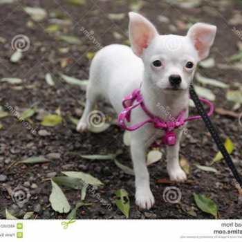 Chihuahua Puppy Harness