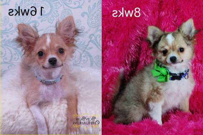 Chihuahua Puppy Stages