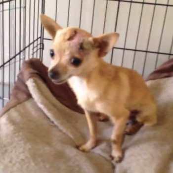 Chihuahua Recuse