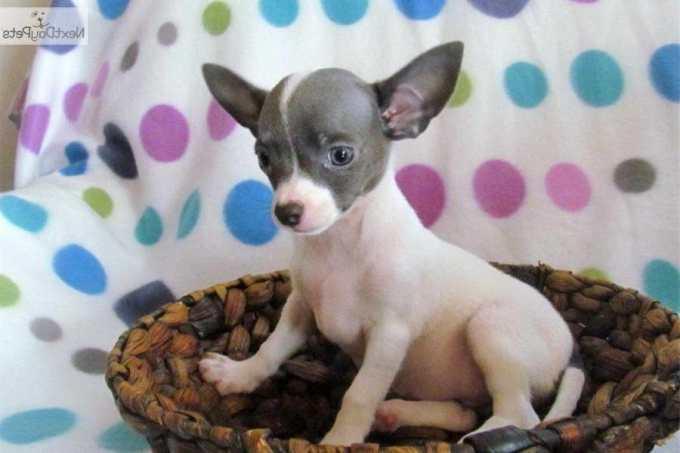 Chihuahua Rescue Charlotte Nc