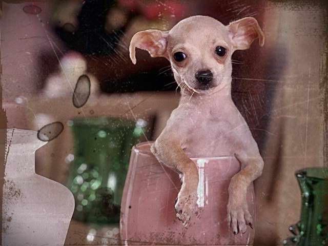 Chihuahua Rescue Chicago