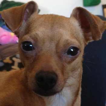 Chihuahua Rescue Dallas