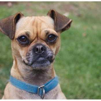Chihuahua Rescue Denver
