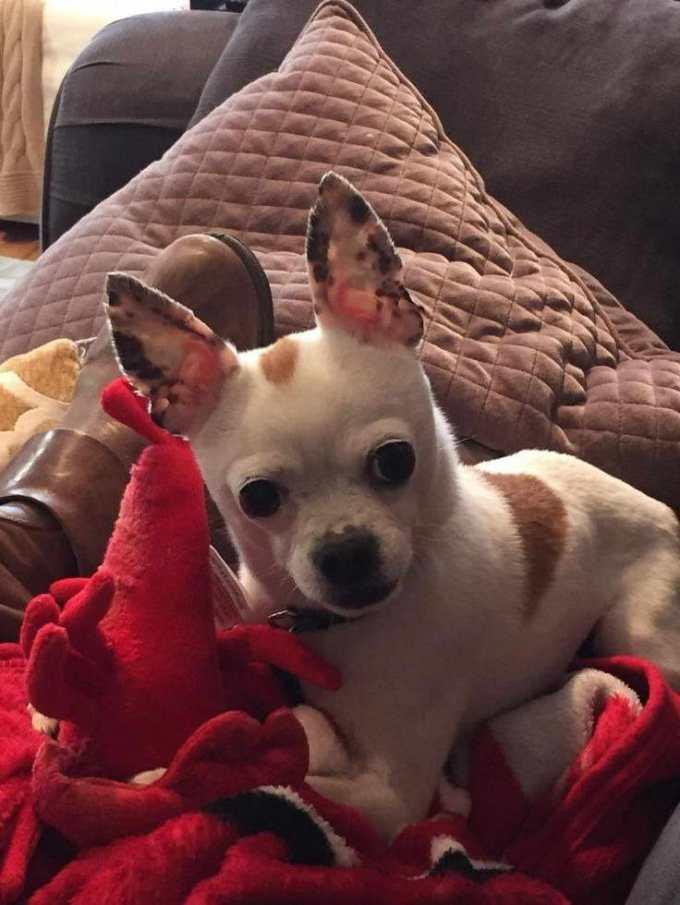 Chihuahua Rescue Dfw