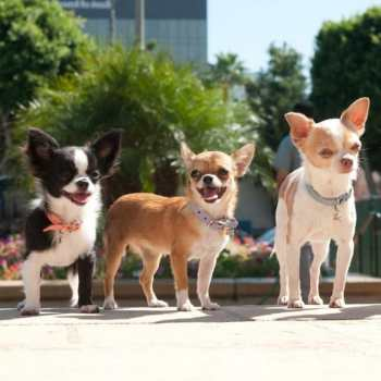 Chihuahua Rescue Group