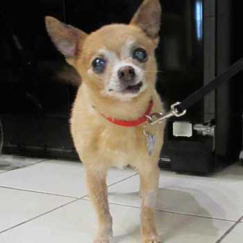 Chihuahua Rescue Il