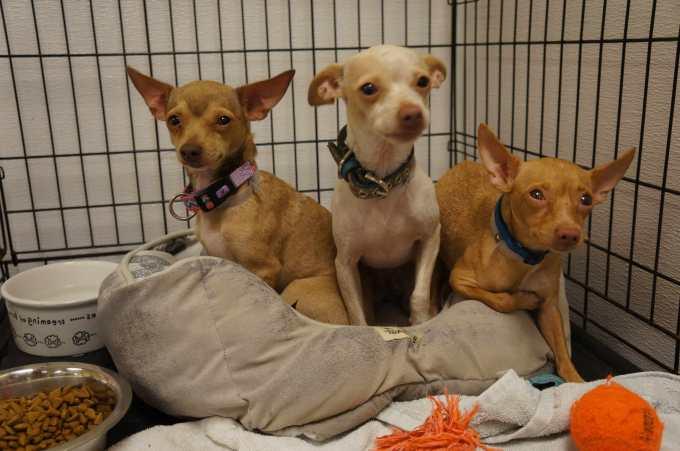Chihuahua Rescue In Florida